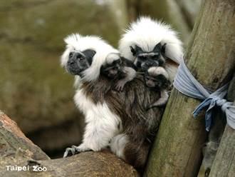 北市動物園棉頭絹猴罕見生下3胞胎 1寶寶喝不飽夭折
