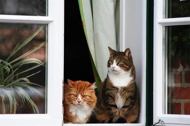 飼主Amy開窗讓愛貓小醬曬太陽,但講電話時卻無意識地關上了窗戶,回不了家的小醬從高處摔落,不幸死亡。(示意圖/達志影像)