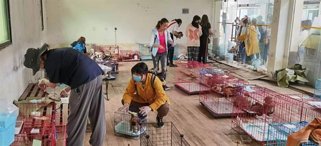 成都寵物盲盒悶送活體救出160隻貓狗,監管部門調查不法。圖為志工正在安置貓狗。(澎湃新聞)
