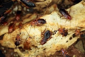 蟑螂吃起來是啥味道?教授揭驚人真相 網嚇歪險吐