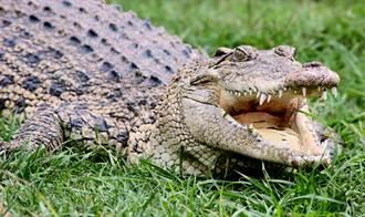 鱷魚闖民宅趴趴走 女警掏打掃神器對峙 一棍甩回池塘