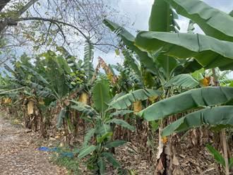 吐蕊期遇寒流 蕉價5月上升至每公斤20元
