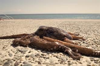 沙灘發現海怪驚覺是大章魚 網一看驚:牠可能在躲鯊魚