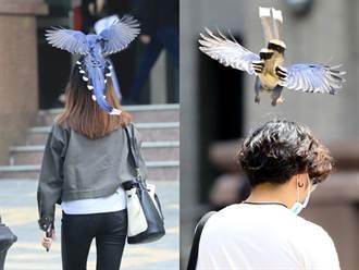 文化大學師生遭藍鵲俯衝攻擊 絕美藍翅校方驚嘆:華岡最美頭飾