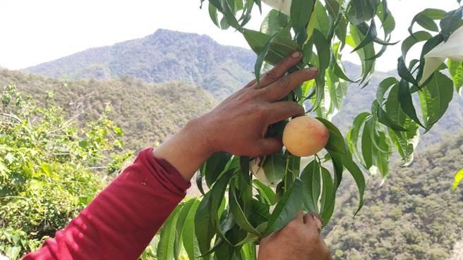 台東南橫水蜜桃農今年不僅要抗旱、還得抗猴,終於等到上市。(蔡旻妤攝)