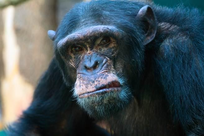 黑猩猩模仿人類的行為,因此做出扔石頭的行為,讓現場不少遊客看得驚呼連連。(示意圖/達志影像)