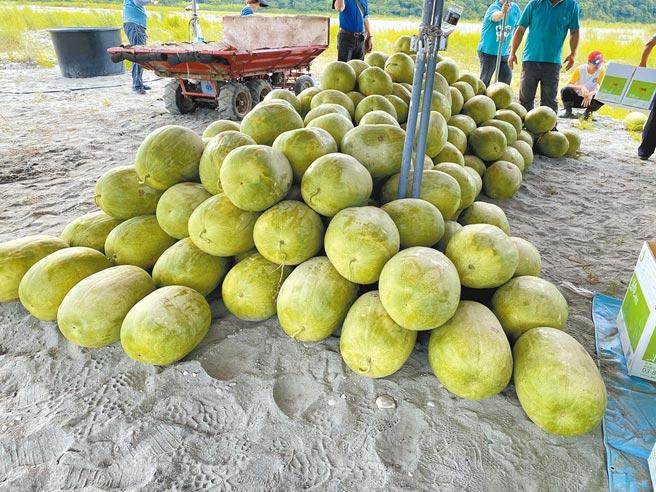 花蓮是國內西瓜最大產區,主要分布在壽豐鄉、鳳林及玉里鎮,目前已進入第一期產季且接續採收。(羅亦晽攝)
