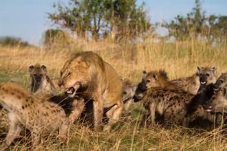 30隻鬣狗與猛獅搶食水牛 激戰6小時結局出乎意料