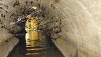 台南蝙蝠祕境 2萬隻齊飛