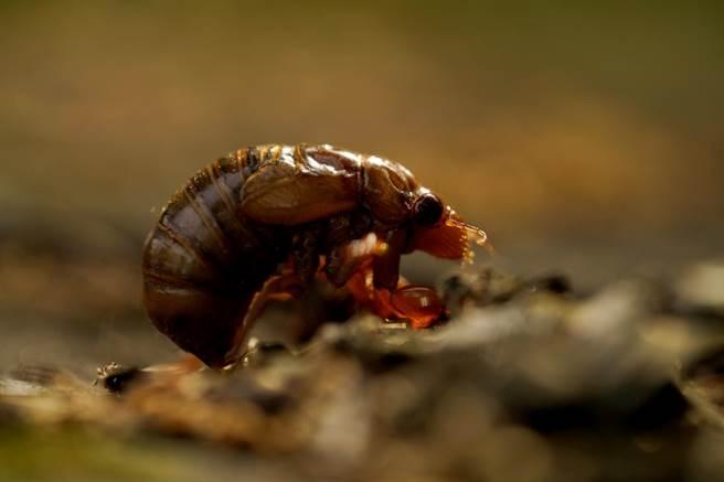 從泥土裡鑽出來地面的10代蟬「布魯德10代」(Brood X)幼蟲。(圖/美聯社)