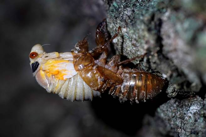 蛻皮、轉化成成蟲的10代蟬「布魯德10代」(Brood X)。(圖/美聯社)