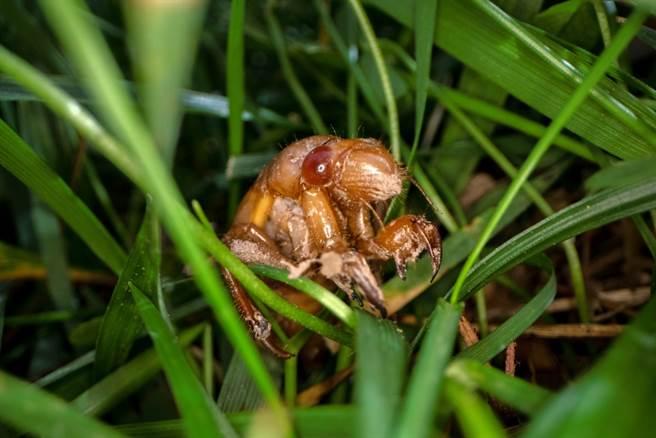 科學家預測,接下來幾天,約數兆10代蟬「布魯德10代」(Brood X)幼蟲將從地底冒出來繁衍下一代。圖為已經鑽出來草地上的幼蟲。(圖/美聯社)