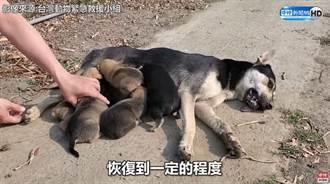 流浪狗媽腿被夾斷忍痛覓食 跛腳回窩倒地餵7幼犬
