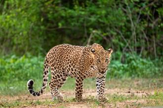 園區內豹脫逃逛大街 杭州動物園今閉園