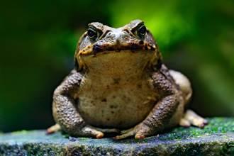 發現大到像嬰兒巨蛙重達1公斤 村民曝比雞肉更好吃