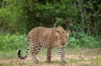 杭州動物園3金錢豹外逃 官方籲居民防範