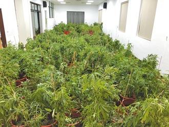 5億大麻工廠栽了 米粉廠助警烘乾