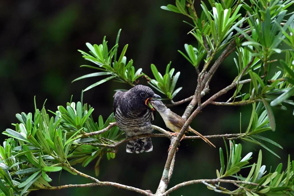 灰頭鷦鶯哺育巨嬰般的中杜鵑幼鳥,被形容為最純淨的母愛。(莊哲權 攝)