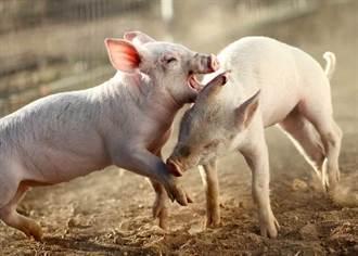 國防部:進口豬修約 增訂萊克多巴胺未檢出條款及罰則