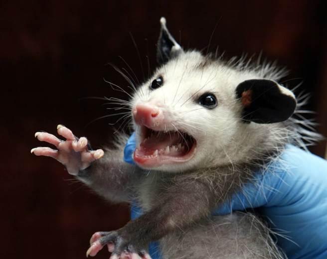 北美負鼠是常見的有袋類動物,外型常被誤會成大老鼠。(美聯社資料照)