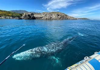 最孤獨鯨魚!小灰鯨地中海迷路 找不到食物瘦成皮包骨