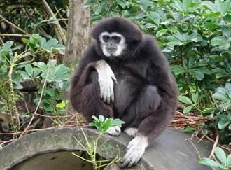 2瀕危白手長臂猿遭毒蛇咬死未公開 北市動物園爆黑箱?