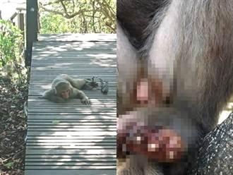 壽山獼猴遭獸夾斷指 路上拖行畫面曝光民眾揪心