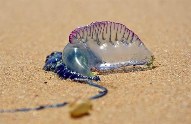 外國男子在沙灘撿到一隻擁有「世界第3毒」之稱的僧帽水母,居然大膽伸出舌頭舔了一下,讓網友全嚇壞。(示意圖/達志影像)