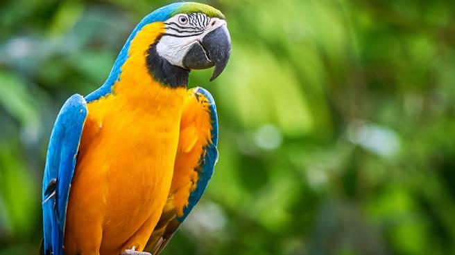 巴西唯一一隻野生藍黃金剛鸚鵡,20年來天天飛到當地動物園與其他鳥類互動。圖片為示意圖。(圖/shutterstock)