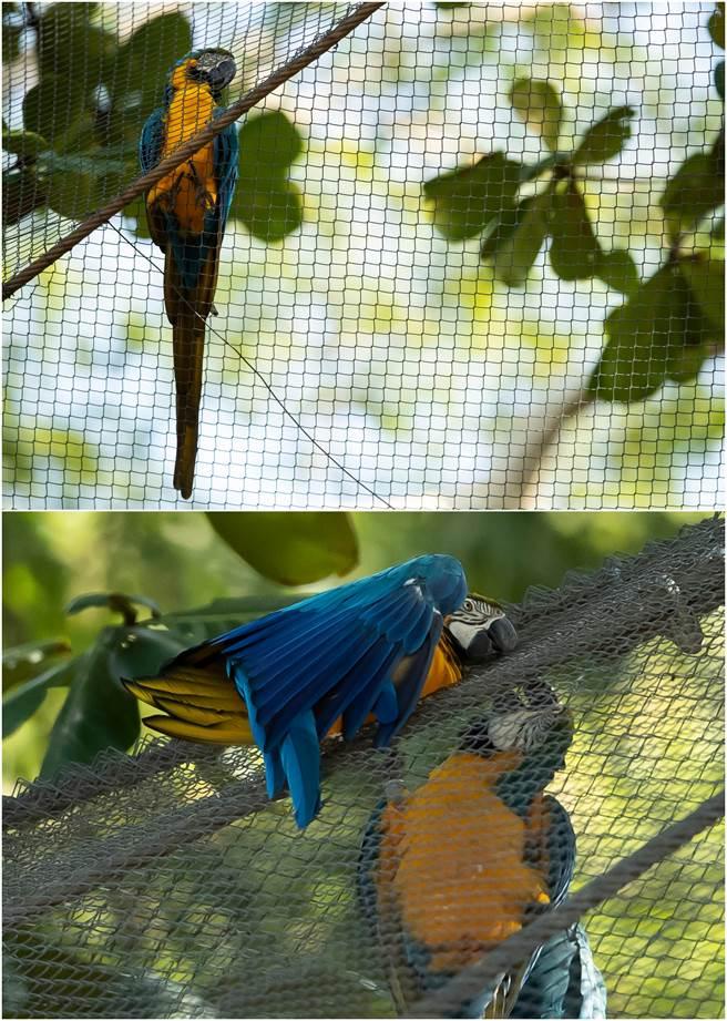這隻野生藍黃金剛鸚鵡,每天飛來動物園與園內的鸚鵡親密互動。(圖/美聯社)
