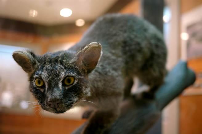 西表山貓是西表島上的瀕危物種。(圖/shutterstock)