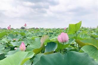美拍!台南5月繁花盛宴 石斛蘭、蓮花、阿勃勒登場