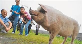 談炒作「豬堅強」 陸專家批過度消費、應避免娛樂化