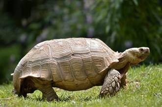 老翁帶70kg巨龜「壓馬路」 5分鐘路程1小時才走完