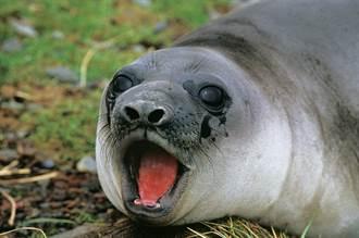 海豹咆哮聲太無厘頭 網一聽笑翻:誰家水槽塞住了