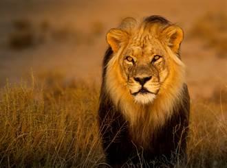和3隻世界最大獅子擠飛機 獸醫曝心聲 網:老天保佑