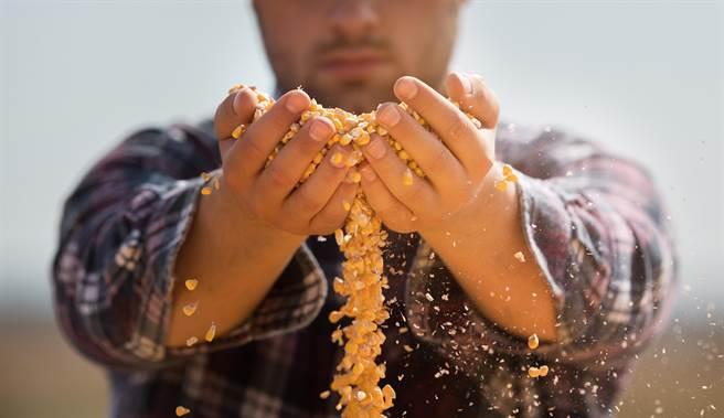 炒房落伍! 大陸現流行「炒」玉米 。(示意圖/shutterstock)