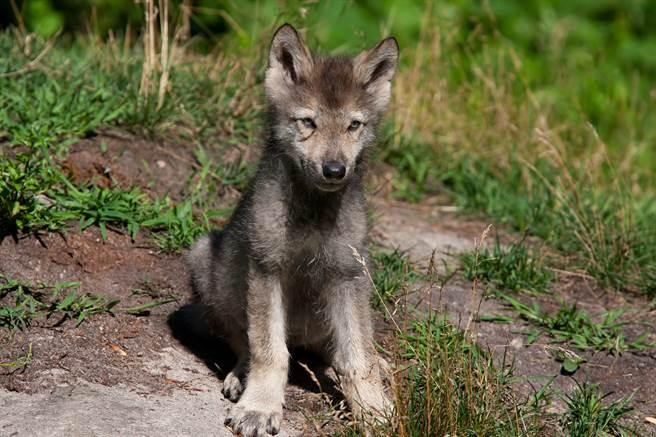 收編掉毛病貓 長大後神似狼 主人一查驚覺罕見品種