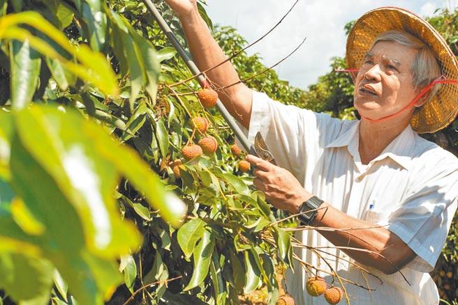 大樹玉荷包的平均收成產量僅正常年的4成,圖為大樹莊姓農民辛苦採收栽培玉荷包情形。(林雅惠攝)