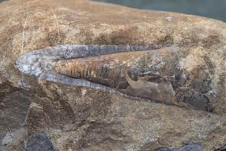 小龍蝦吃一半魷魚定格變化石 重傷痕跡揭1.8億年前悲劇