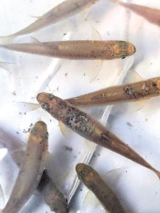 台中搶救稀有台灣白魚 移地保種30尾