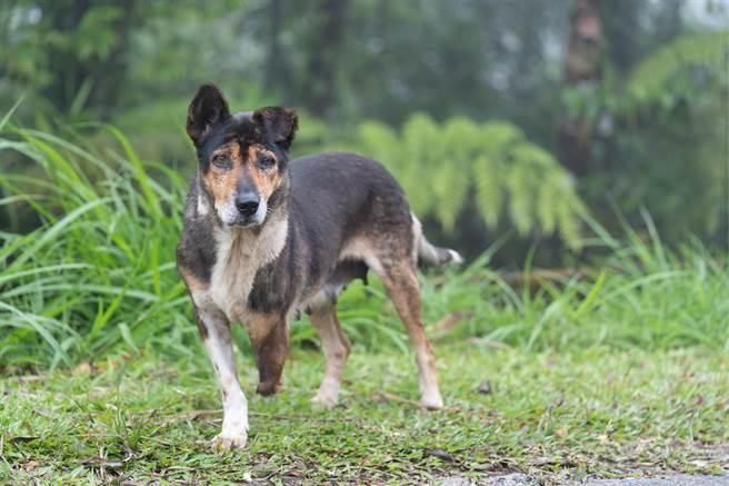 台南出現一隻跛腳流浪狗,牠的前腿被鐵絲纏到流血,但牠仍不顧傷勢忍痛覓食,就是為了哺育幼犬。(示意圖/達志影像)