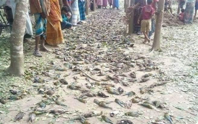 网传「印度新冠病毒已经感染到鸟类」的鸟尸遍地照,经「台湾事实查核中心」查证后,已知是错误讯息,民眾勿以讹传讹,继续散播。(图/社群平台传言截图)