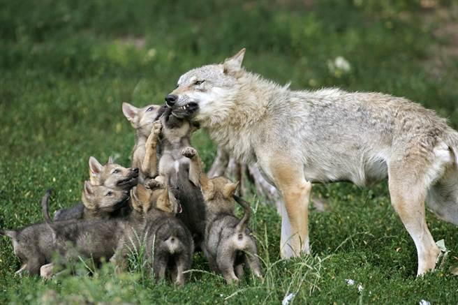 美國紐約動物保護組織復育出一隻灰狼,起初牠並未學習到母親的育兒技巧,因此讓動保組織人員非常擔心,沒想到灰狼當了媽媽後,牠竟無師自通。(示意圖/達志影像)