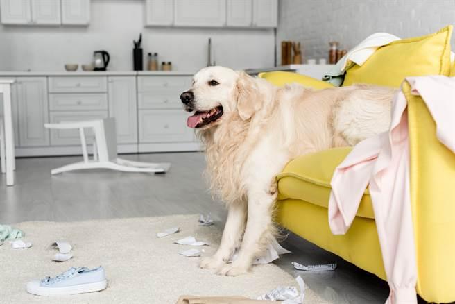 大陸一隻黃金獵犬為了追老鼠,居然誤闖二樓夾層,壓垮鄰居的天花板。(示意圖/達志影像)