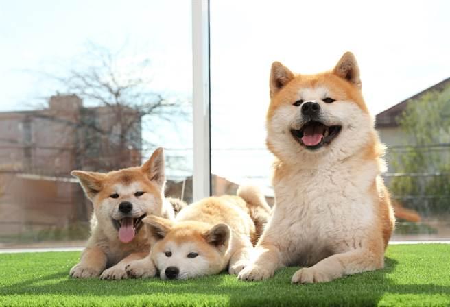 秋田犬當時剛睡醒,看到主人時還反應不過來,一臉呆萌地看向主人,超萌模樣讓3百萬人笑翻。(示意圖/達志影像)