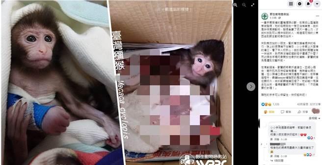 台灣獼猴寶寶疑遭攻擊,導致牠右手橈尺骨開放性骨折。(圖翻攝自臉書/野生動物急救站)