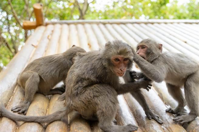 母猴與幼崽疑似遭到攻擊,導致猴媽當場喪命,而小猴子則守在屍體旁,讓人看了非常不捨。(示意圖/達志影像)