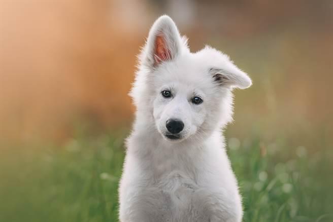 日本一名飼主養了白色瑞士牧羊犬,沒想到才5個月大體型就快和成年人一樣高。(示意圖/達志影像)