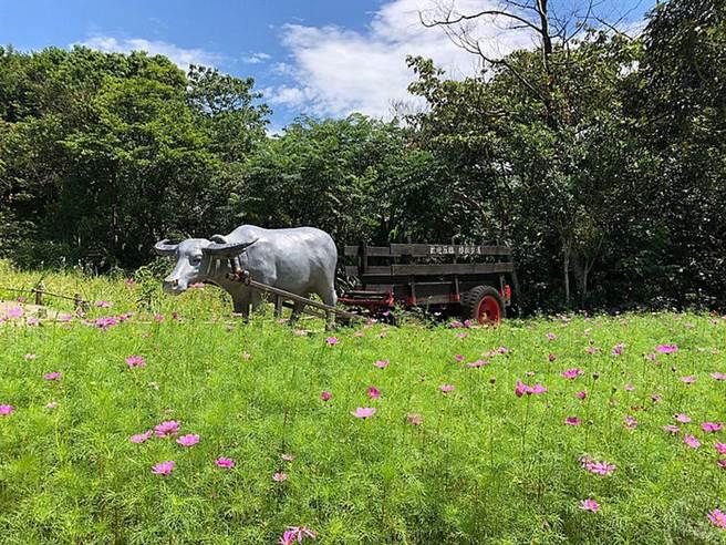 樟樹步道波斯菊。(旅遊經提供)